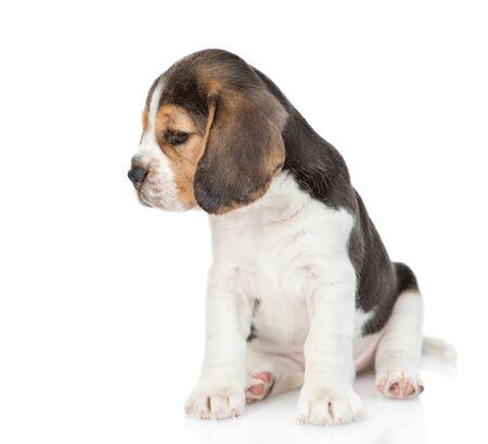 Triest kleine beagle pup op zoek weg en naar beneden. geïsoleerd op een witte achtergrond.