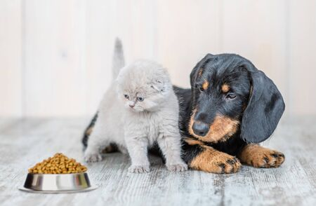Cute baby kitten sitting with dachshund puppy on the floor at home and looking at a bowl of dry food.