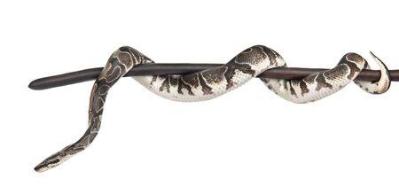 Python royal, ou Ball Python (Python regius) sur un bâton sec. isolé sur fond blanc. Banque d'images