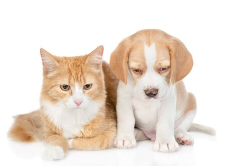 Beagle puppy and red tabby cat looking down together. isolated on white background.