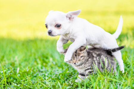 Playful puppy chihuahua jumps over the kitten on the green grass.