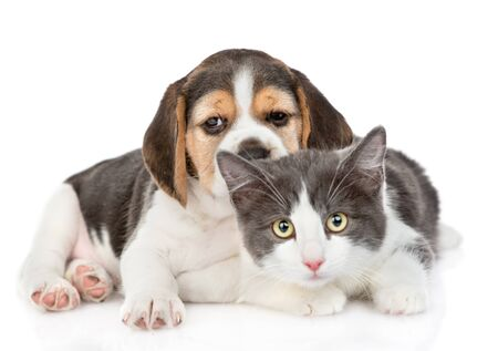 Beagle puppy lying with cat. isolated on white background.