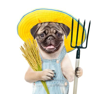 Pug puppy farmer holding a bunch of wheat and pithcfork. Isolated on white background.
