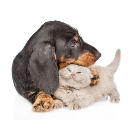 Playful dachshund puppy hugging tiny gray kitten. Isolated on white background.