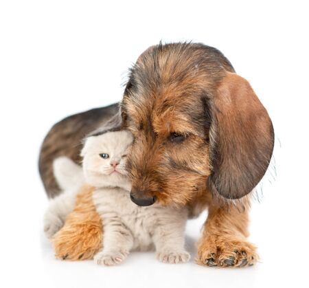 Playful dachshund puppy embracing gray kitten. isolated on white background.