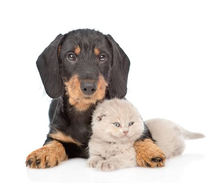 Dachshund puppy embracing tiny gray kitten. Isolated on white background.