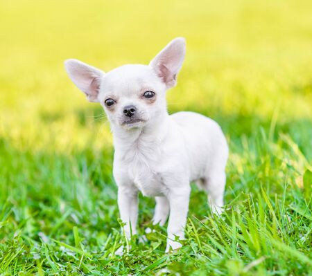 Portrait of a chihuahua puppy on green summer grass. Zdjęcie Seryjne - 130152429