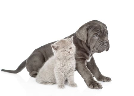 Neapolitan mastiff puppy and gray kitten sitting in side view. isolated on white background. Stock Photo