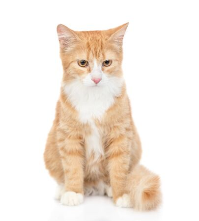 Adult red tabby cat looking at camera. isolated on white background.