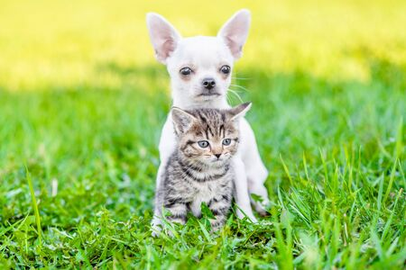 Chihuahua puppy hugging kitten on green summer grass.