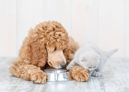 Poodle puppy and kitten eat together from one bowl at home. Stock Photo