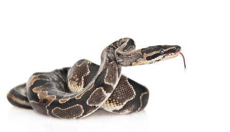 Royal Python, or Ball Python (Python regius) in side view. Isolated on white background.