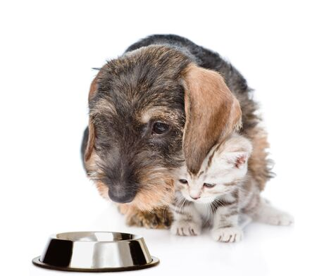 Dachshund puppy and baby kitten looking together at an empty bowl. isolated on white background. Stock Photo