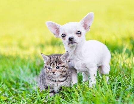 Portrait of a chihuahua puppy and a kitten on green grass.