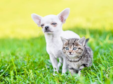 Chihuahua puppy and a kitten standing together on green summer grass. Stock Photo