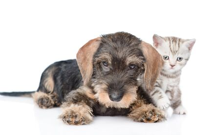 Dachshund puppy and baby kitten lying together. isolated on white background.