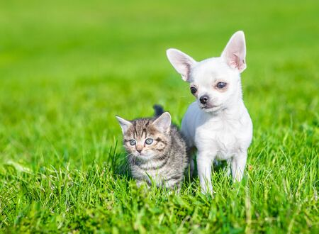 Portrait of a chihuahua puppy and a kitten on green grass. Empty space for text.