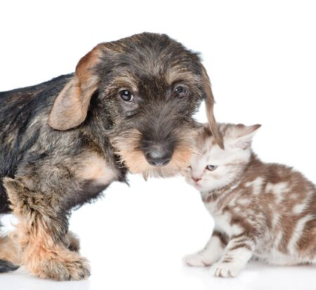 Dachshund puppy and baby kitten looking at camera together. isolated on white background.