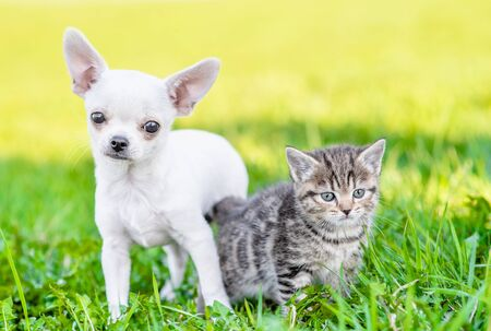 Portrait of a chihuahua puppy and a kitten on green summer grass.