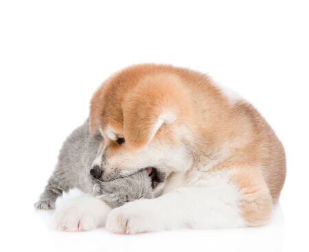 Akita inu puppy bites a kitten. isolated on white background. Stock Photo