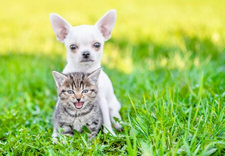 Chihuahua puppy hugging kitten on green summer grass. Empty space for text. Zdjęcie Seryjne - 130152388