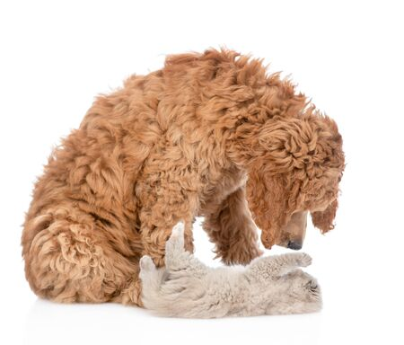 Playful kitten with young royal poodle play together. Isolated on white background.