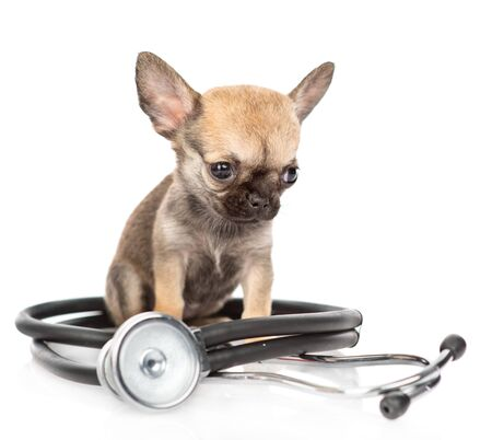 Chihuahua puppy with stethoscope. isolated on white background. Zdjęcie Seryjne