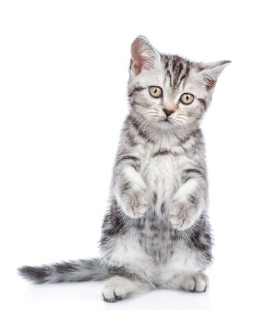 Scottish tabby kitten standing in front view on hind legs. isolated on white background.
