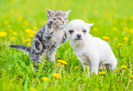 Playful tabby kitten with chihuahua puppy on green grass.