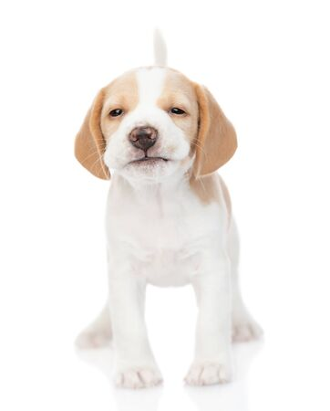 Smiling beagle puppy standing in front view and looking at camera. isolated on white background.
