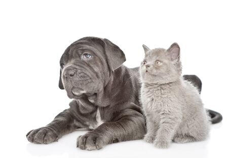 Neapolitan mastiff puppy and gray kitten looking away and up together. isolated on white background.