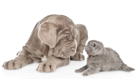 Neapolitana mastino puppy with baby scared kitten together. isolated on white backgroundÑŽ