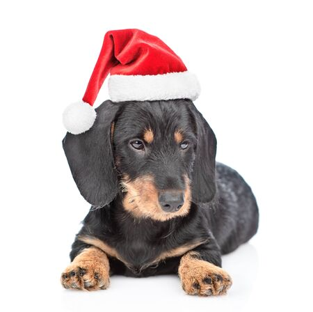 Dachshund puppy in red christmas hat lying in front view. isolated on white background. Foto de archivo - 133390858