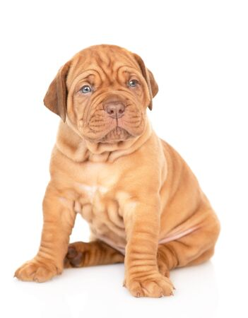 Bordeaux puppy sitting and looking at camera. isolated on white background. Foto de archivo - 133390863