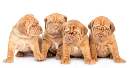 Group of a Bordeaux puppies sitting in front view. isolated on white background. Foto de archivo - 133390879