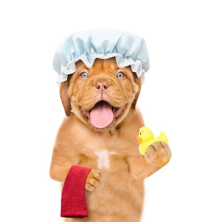 Funny puppy with shower cap holding towel and rubber duck. isolated on white background.