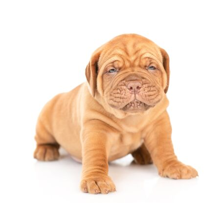 Baby mastiff puppy standing in front view. isolated on white background. Foto de archivo - 133390906