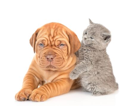 Playful kitten with mastiff puppy. isolated on white background. Foto de archivo - 133390923