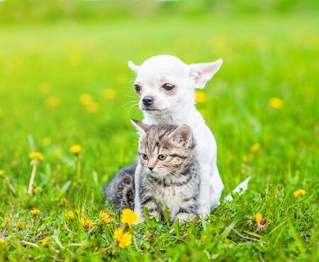 Chihuahua puppy hugging kitten on a dandelion field.