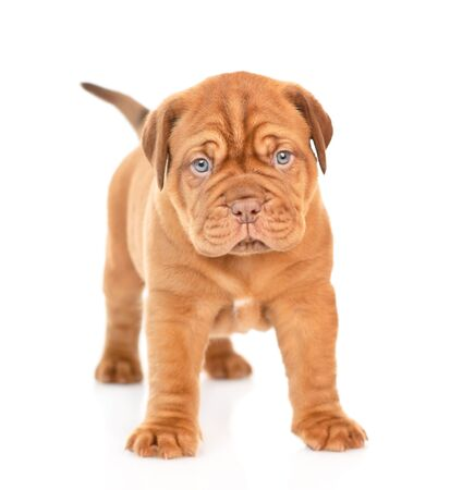 Portrait of a Bordeaux puppy standing in front view. isolated on white background. Foto de archivo - 133390946