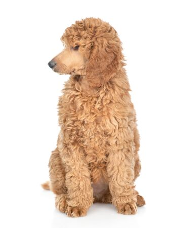 Royal poodle looking away. isolated on white background.