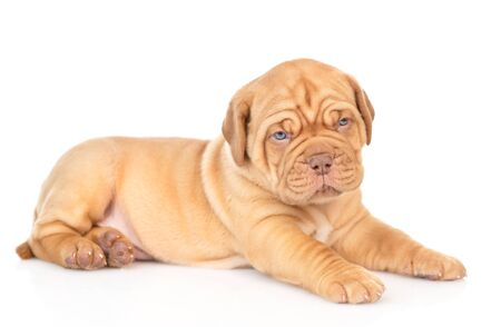 Portrait of a Bordeaux puppy lying in side view. isolated on white background.