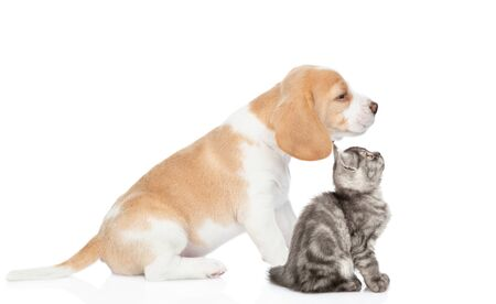Beagle puppy and tabby kitten sitting in profile together. isolated on white background.