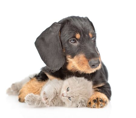 Dachshund puppy embracing baby kitten. isolated on white background.