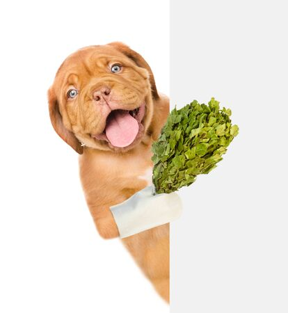 Happy puppy holding a birch broom for sauna above empty white banner. isolated on white background. Foto de archivo