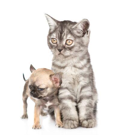 Gato atigrado y perrito chihuahua mirando a otro lado juntos. Aislado sobre fondo blanco.