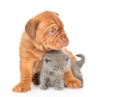 Mastiff puppy hugging gray kitten and looking away. isolated on white background.