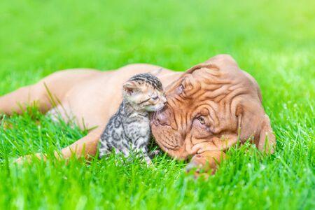 Friendly mastiff puppy kissing baby bengal kitten on green summer grass. Stock Photo