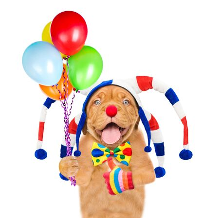 Funny puppy in jester cap holding balloons and showing thumbs up. isolated on white background.