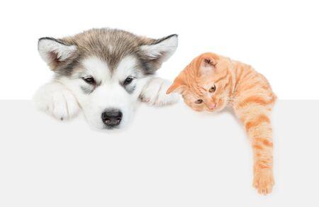 Chiot malamute d'Alaska et chat tigré sur une bannière blanche vide. isolé sur fond blanc.